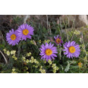 Asters Alpine bl. farver (Aster alpinus)