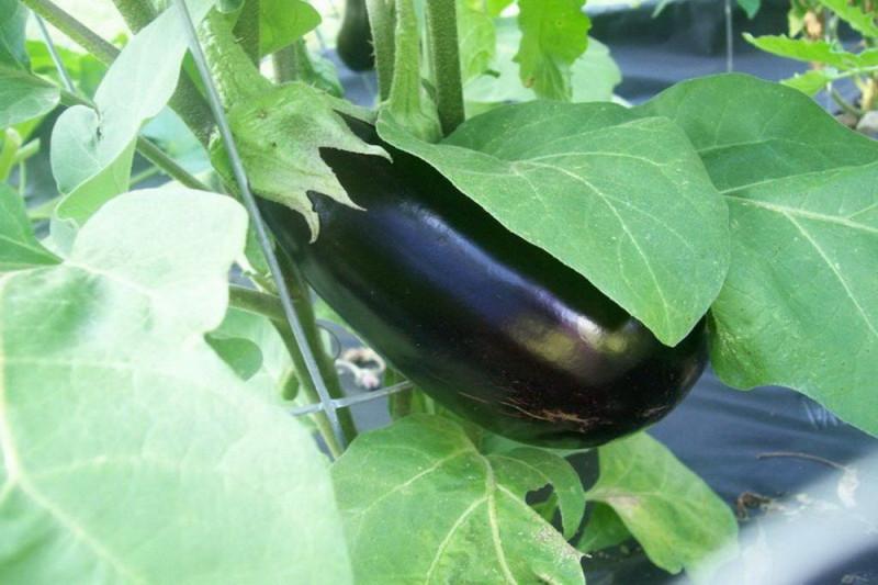Aubergine (Solanum melongena)