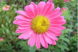 Sommerasters bl. farver (Callistephus chinensis)