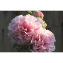 Stokrose Chater's dobbelt bl. farver (Alcea rosea)