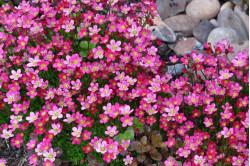 Mos-stenbræk rød - bl. farver (Saxifraga arendsii Mossy Species)