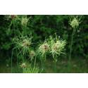 Allium sand-løg (Allium vineale)