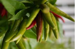 Chili Japones (Capsicum Frutescens)