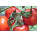 Busktomat Rødhætte (Solanum lycopersicum)