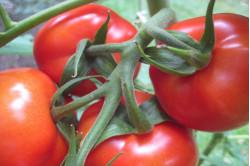 Busktomat Rødhætte (Solanum...