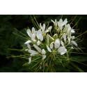 Edderkopplante - hvid (Cleome Helen Campbell)