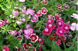 Studenternellike (Dianthus Barbatus)