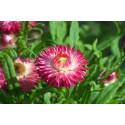 Evighedsblomst - lav bl. farver (Helichrysum bracteatum)