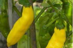 Chili Thai Yellow (Capsicum Annuum)