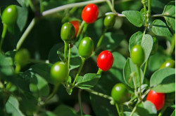 Chili Pequin (Capsicum Annuum)