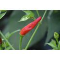 Chili Santaka (Capsicum Annuum)