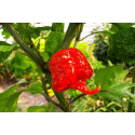 Chili Carolina Reaper (Capsicum Chinense)