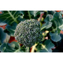 Broccoli 'Marathon F1' (Broccoli Premium Crop)