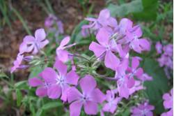 Aftenstjerne - violet (Hesperis matronalis)