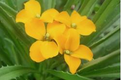 Gyldenlak - gul (Cheiranthus Allionii)