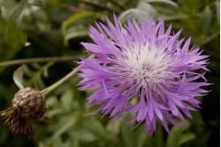 Knopurt - rosa (Centaurea dealbata)