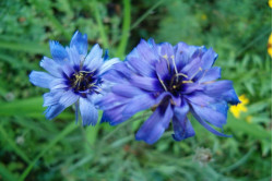 Rasleblomst - blå (Catananche caerulea)