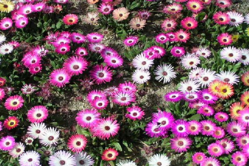 Middagsblomst - blandede farver (Dorotheanthus bellidiformis)