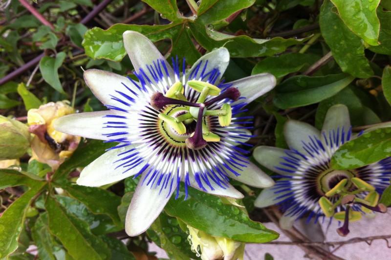 Passionsblomst (Passiflora caerulea)
