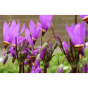 Gudeblomst (Dodecatheon media)