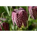 Almindelig vibeæg (Fritillaria meleagris)