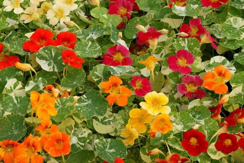 Brøndkarse blandede farver (Nasturtium Alaska)