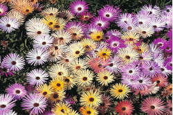 Isplante blandede farver (Mesembryanthemum Magic Carpet)