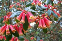 Skønhedsranke (Eccremocarpus Scaber)