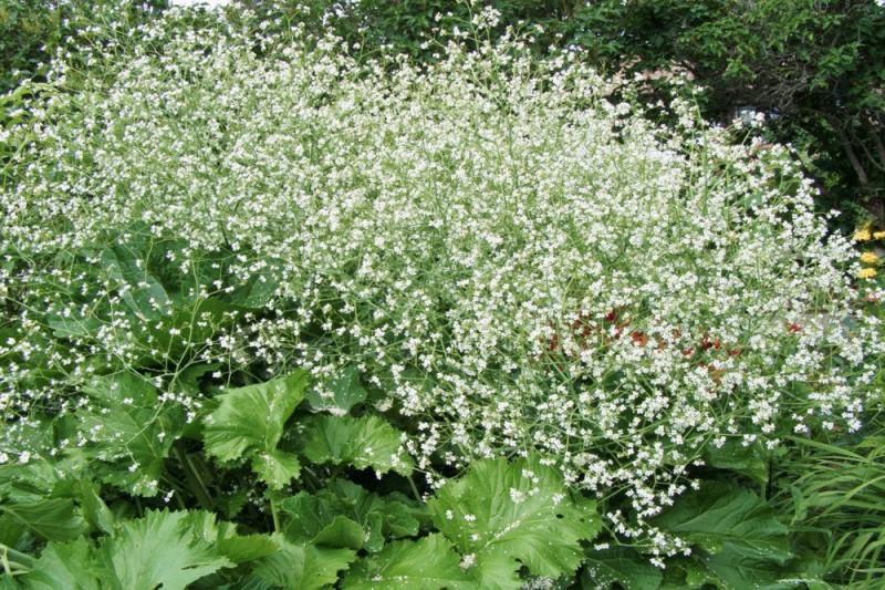 Kæmpeslør (Crambe cordifolia)
