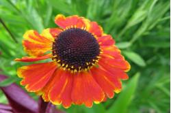 Solbrud (Helenium autumnale)