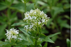 Sporebaldrian - Hvid (Centranthus ruber)