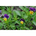 Stedmoderblomst tre-farvet (Viola Helen Mount Johnny Jump-Up)