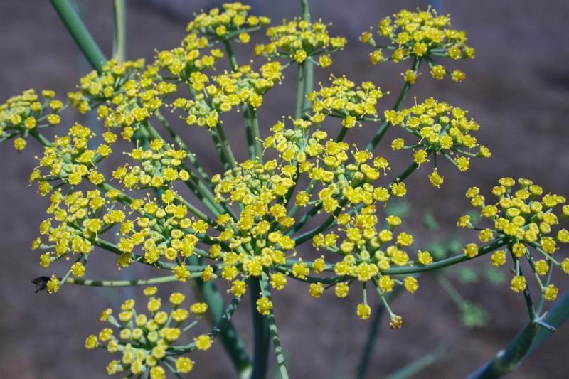 Krydderfennikel (Foeniculum vulgare var. dulc)