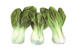 Pak Choi Green Stem Chifu F1 (Brassica rapa var chinensis)