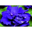 Petunia F1 Duo Blue (Multiflora)